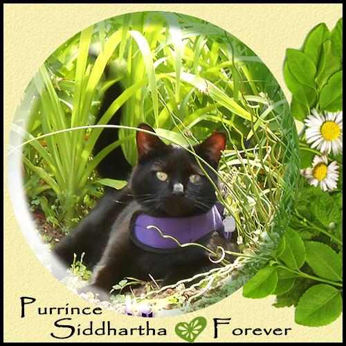 Purrince Siddharta Henry Forever