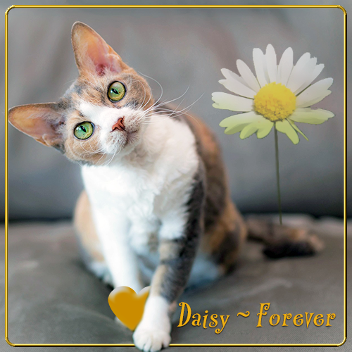 Daisy Forever