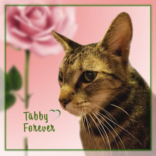 Tabby Forever